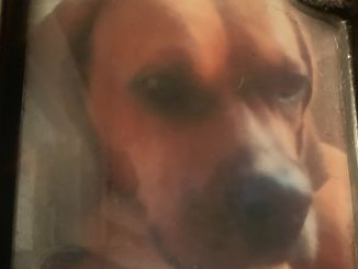 Dog: Jackson (Basset / Boxer)