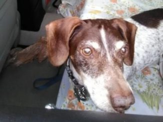 Pet Dog - Simon - Dappel Dachshund