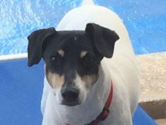 Dog: Jake - Fox Terrier