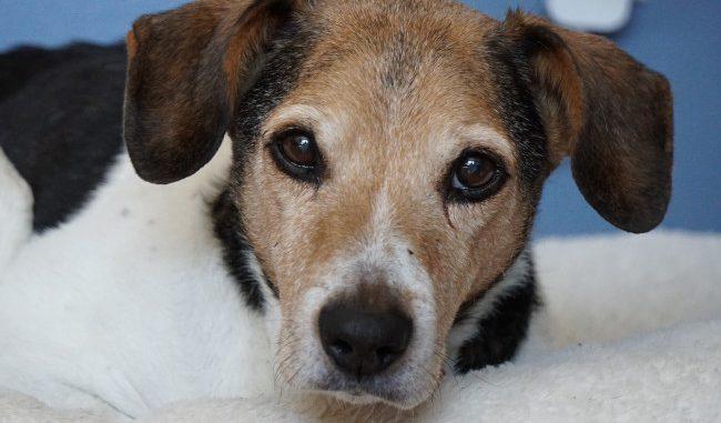 Pet Dog Jackson - Beagle Terrier mix
