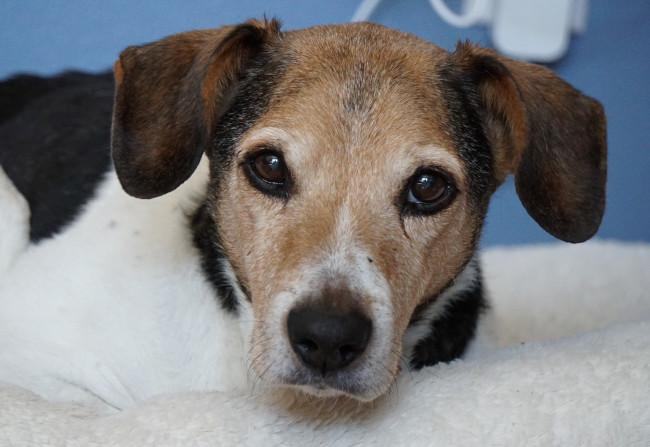 Pet Dog Jackson – Beagle Terrier mix