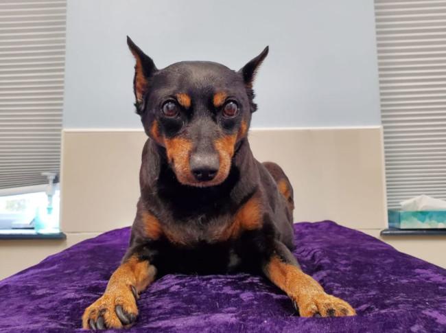 Dog: Lito (Miniature Pinscher)
