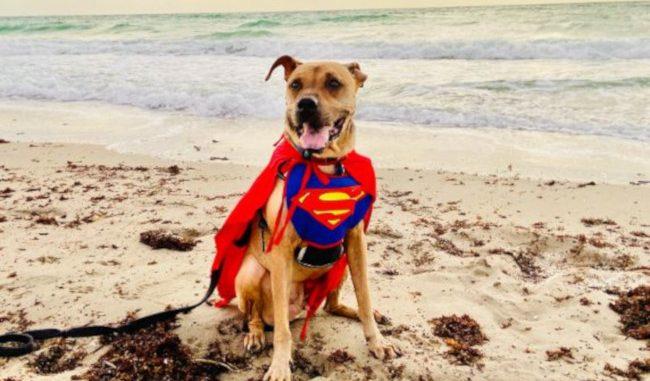 Dog: Barkley (Sharpei - Boxer Mix) - Hollywood, FL