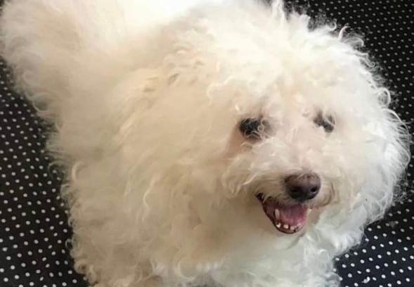 Dog: Karl (Bichon Frise)