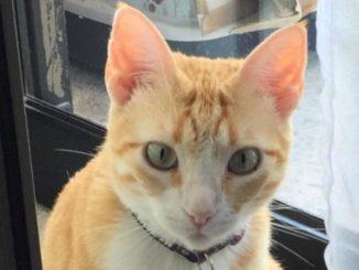 Cat: Ginger Rose - Malta