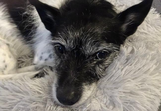 Pet dog: Billie – (Jack Russell – Blue Heeler)