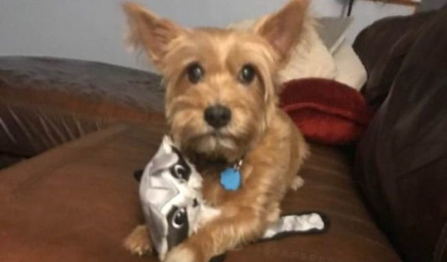 Dog: Peanut Cairn Terrier