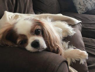Dog: Daisy - Cavalier King Charles Spaniel