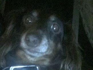 Pet dog - Libby