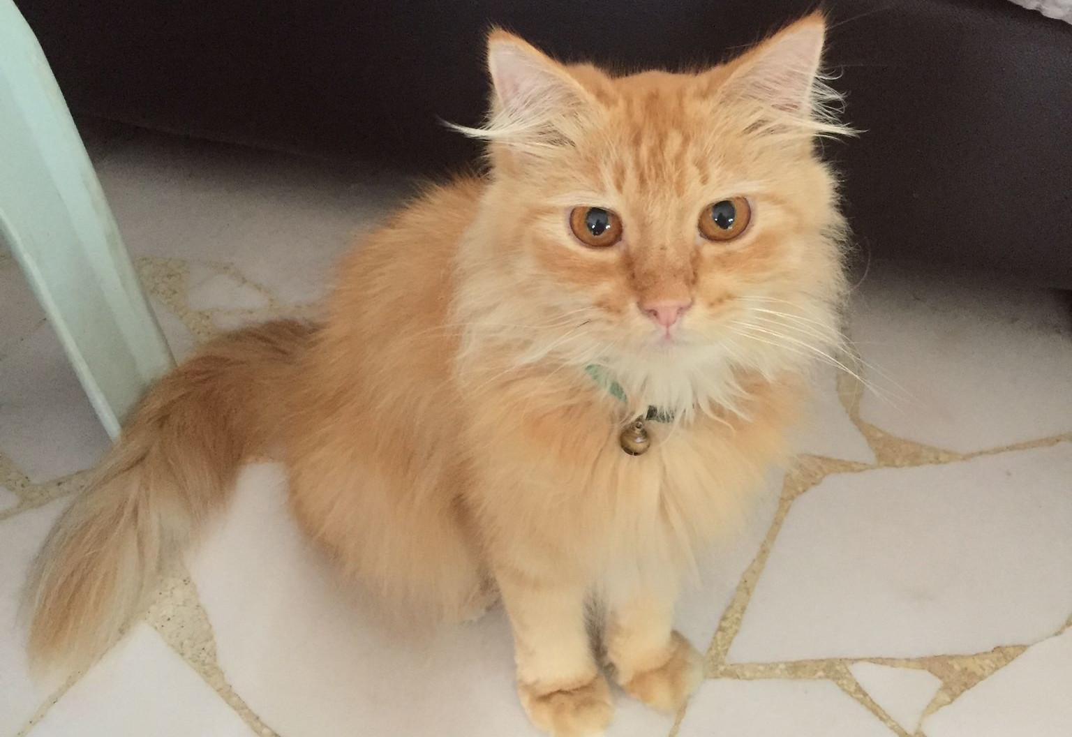 Pet Cat Muffs (Singapore)
